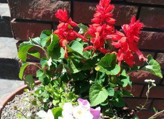 5月23日に今年度最初の行事の花の苗の配布がありました。